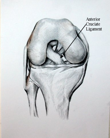 ACL_Anatomy